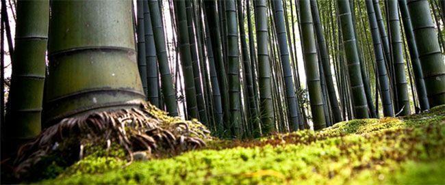 semillas de bambu